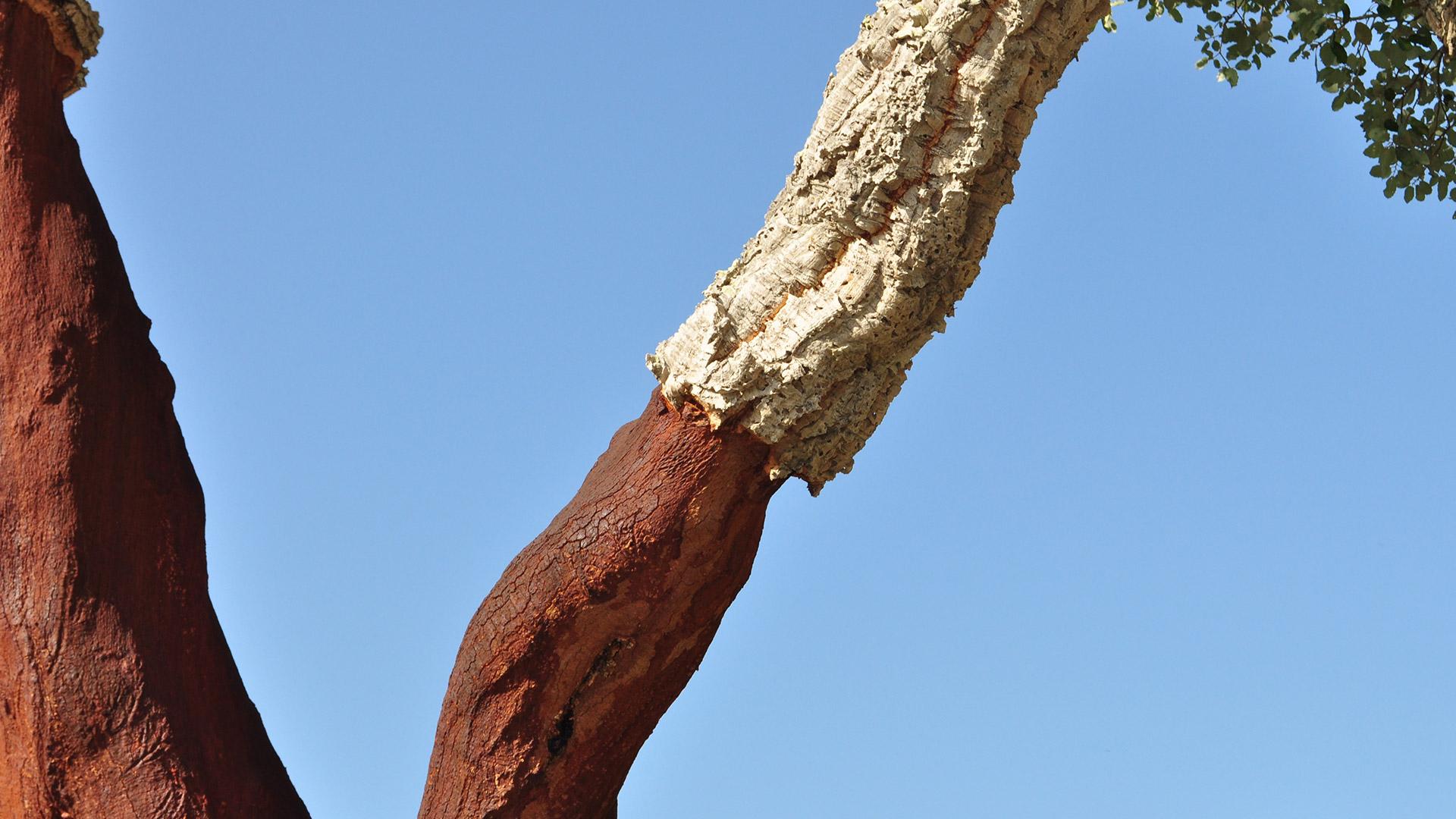 korkeiche-stamm-rinde-borke-schichten-nahaufnahme